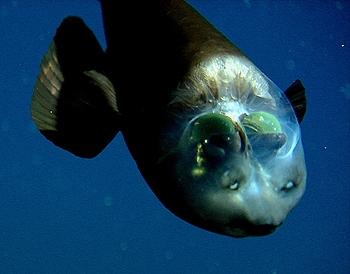 Beczkook - ryba z przezroczystą głową