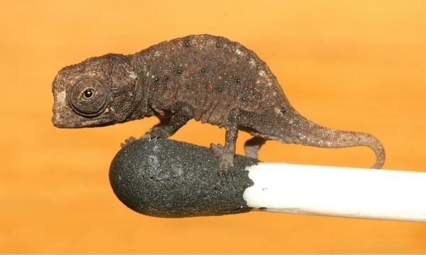 Liliput kameleon -najmniejsza jaszczurka na świecie