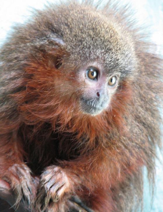 Małpy, które mruczą jak koty wśród nowych gatunków odkrytych w amazońskiej dżungli
