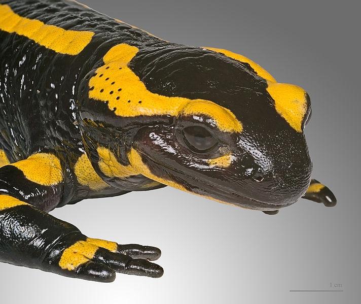 Salamandry kluczem do poznania procesu regeneracji?