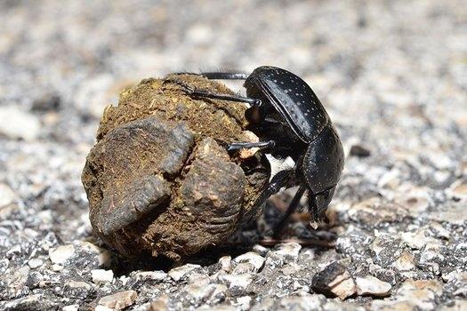 Żuki gnojarze poruszają się według Drogi Mlecznej