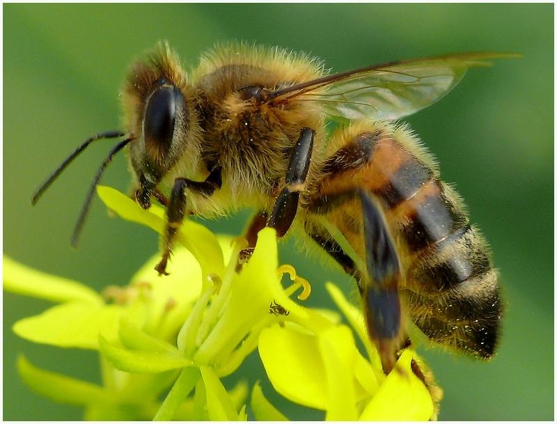 Potrawa z szerszenia, czyli pszczele zdolności kulinarne