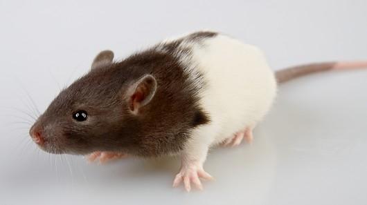 Naukowcy stworzyli model 3D szkieletu szczura z pomocą drukarki