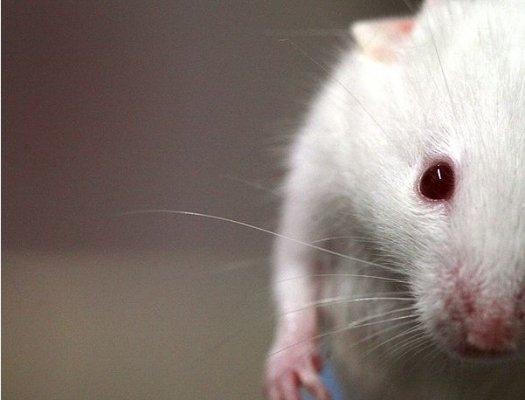 Mysz z zespołem Downa wyleczona jednym zastrzykiem