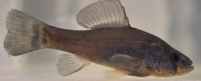 Ryba, która może ukrywać swój zapach? - to nie żart