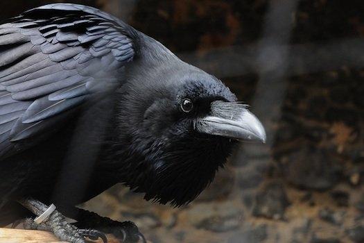 Kruki i wrony wiedzą co jest sprawiedliwe, a co nie