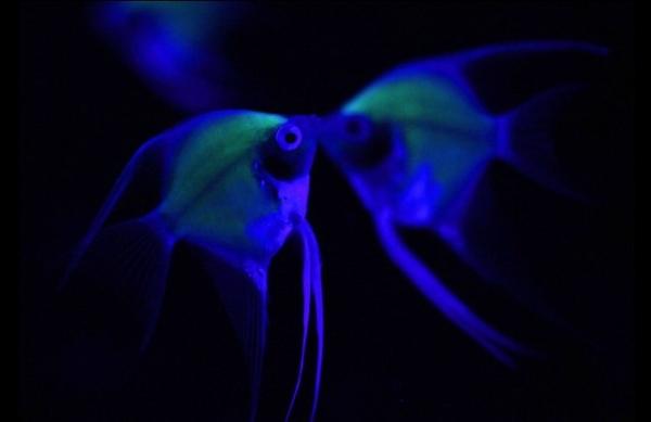 Niezwykła rybka świecąca w ciemności