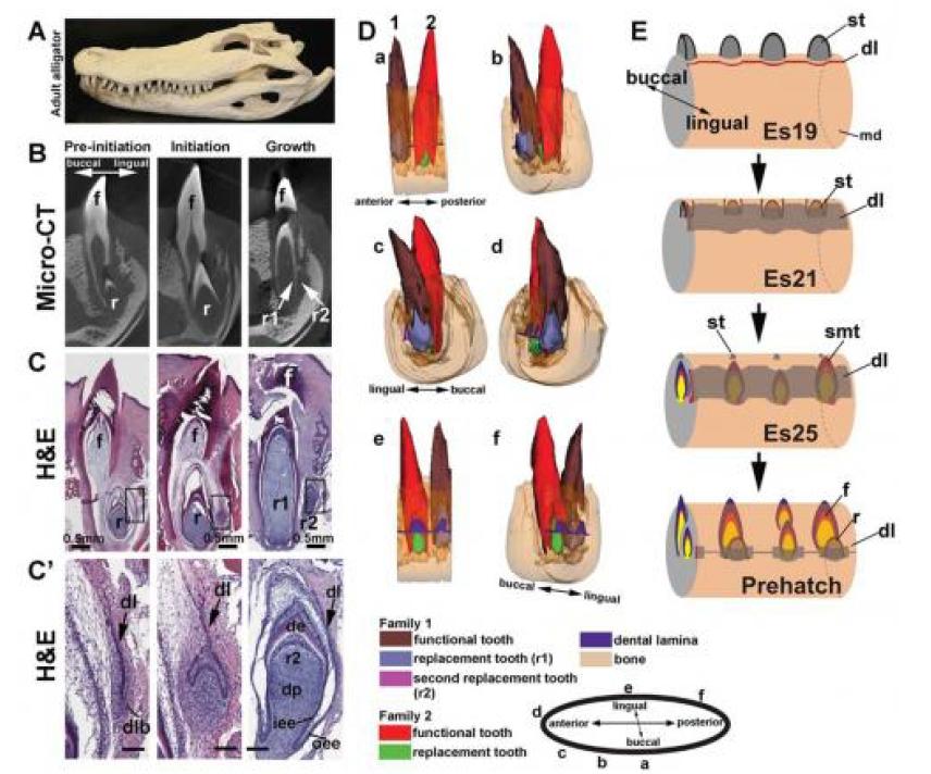 Wielokrotna regeneracja zębów u ludzi, dzięki podpatrzeniu mechanizmu u aligatorów?