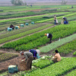 Agriculture_in_Vietnam_with_farmers