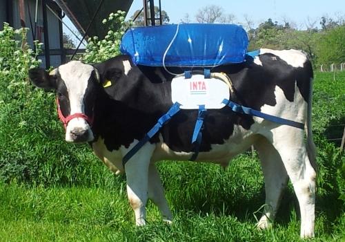 Czy krowy mogą wpłynąć na globalne ocieplenie?