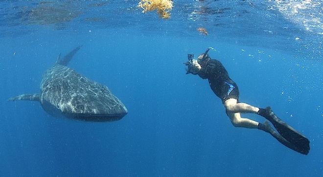 Naukowcy odkryli nowe skupisko młodych rekinów wielorybich w morzu czerwonym