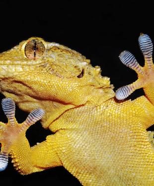 gecko lizard portrait