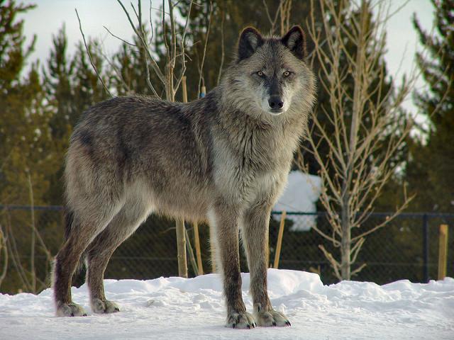 Psy kontra wilki. Kto jest większym ryzykantem?