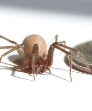 american-brown-recluse-spider-silk-2