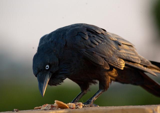 Ptasia wojna – dlaczego wrony masowo atakują kruki?