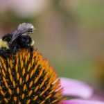 Caption: Computer scientists and engineers at the University of Washington have created a sensor package that is small enough to ride aboard a bumblebee. Credit: Mark Stone/University of Washington