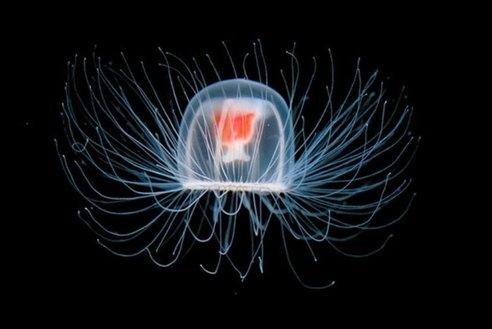 Tajemnica nieśmiertelnej meduzy